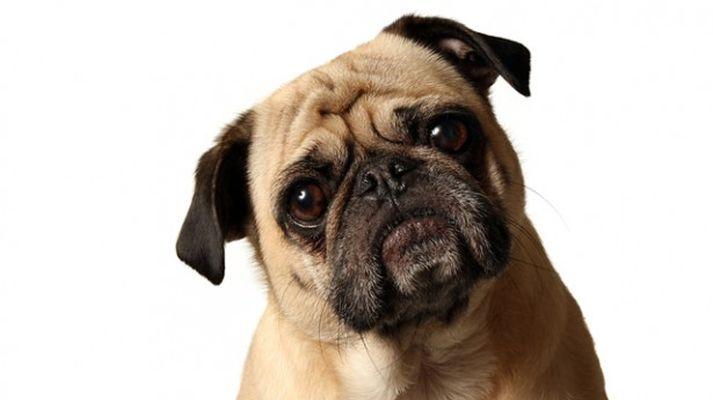cachorro pasquindie quem é você lollapalooza