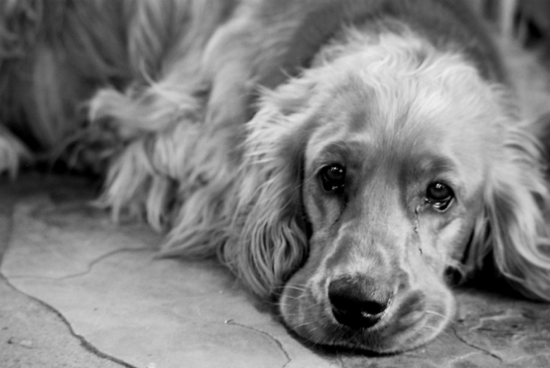 cachorro chorando pasquindie